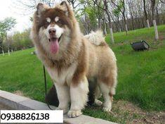 Giant Alaskan Malamute My dream dog. Alaskan Husky, Giant Alaskan Malamute, Malamute Puppies, Pet Dogs, Dogs And Puppies, Doggies, Alaska Dog, Dog Facts, I Love Dogs