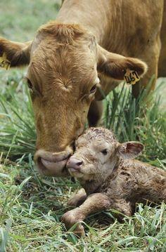 Kalverliefde, maar dan van koe tot kalf