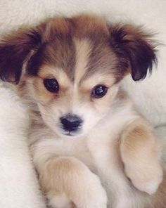 Daily Awww: I heard you like dogs photos). Check out more at the photo Daily Awww: I heard you like dogs photos). Labrador Puppies For Sale, Best Puppies, Cute Puppies, Dogs And Puppies, Cute Dogs, Puppies Tips, Doggies, Little Dogs, Havanese Puppies
