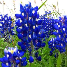 Texas Blue Bonnets ❤