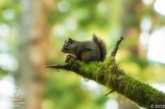 Douglas' Squirrel (Tiger Mountain State Forest, Washington). Photo: Leighton Photography and Imaging