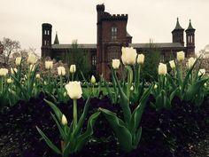 Fringed Honeymoon White Tulips on the @smithsonian Parterre