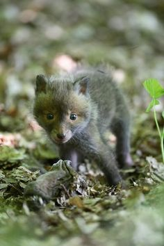 ~~ Baby Red Fox ~~ it looks like a little bear cub