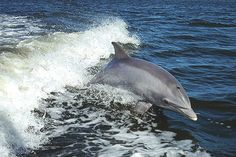 Dolphins Are Still Dying Five Years After the Deepwater Horizon Disaster | TakePart