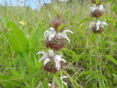 2016 - Basil beebalm is a bumblebee favorite! Found at Ray Roberts Lake State Park.