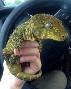 Bringing home my baby Dinosaur Leachianus Giant Gecko Cute Creatures, Beautiful Creatures, Animals Beautiful, Cute Reptiles, Reptiles And Amphibians, Animals And Pets, Funny Animals, Cute Animals, Leachie Gecko