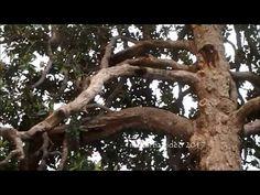 La Magnolia più vecchia di Roma a Largo Cristina di Svezia (manortiz)