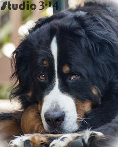 More About The Exuberant Australian Shepherd Pup Grooming Burmese Mountain Dogs, Swiss Mountain Dogs, Cute Puppies, Dogs And Puppies, Entlebucher, All Breeds Of Dogs, Australian Shepherd Dogs, Bernese Mountain, Working Dogs