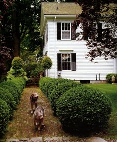 Bunny Williams' home in New England.  Walkway flanked by boxwood.