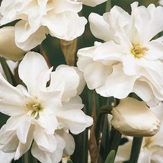 """Rose of May Daffodil. Bloom Time: Late Spring Size: 11+ cm Zones: 3-8 Height: 12-14"""" - See more at: http://www.brecks.com/product/rose_of_may_daffodil#sthash.tuvpp38D.dpuf"""