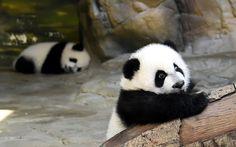 >>>Cheap Sale OFF! >>>Visit>> Giant panda triplet cubs reunited with mum Ju Xiao at Chimelong Wildlife Park Little Panda, Panda Love, Cute Panda, Zoo Animals, Cute Baby Animals, Animals And Pets, Chillout Zone, Baby Panda Bears, Panda Babies