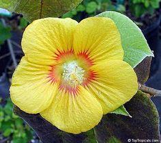 cool ♥ Rare Velvet leaf aka Indian Mallow, Flowering Maple / Abutilon Theophrasti #...