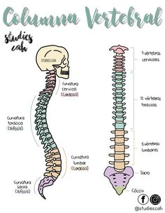 The vertebral column Medicine Notes, Medicine Student, Studying Medicine, Nursing School Notes, Science Notes, Medical Anatomy, Human Anatomy And Physiology, Medical Terminology, School Study Tips