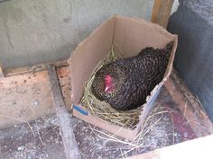 A broody hen on Lot 2, sitting on 13 eggs.