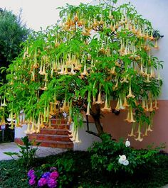 angel trumpet - Got to get one of these.  full sun.  20ft?! can be grown in a pot