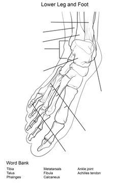 foot bones anatomy worksheet coloring page