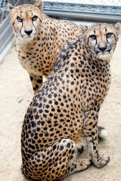 Cheetahs fascinate me... did you know they chirp like birds to throw off enemies?  AMAZING!