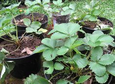 How to Transplant Berry Plants: Strawberries and Cane Berries