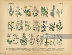 Very Rare, Beautifully Illustrated Antique Engraved Victorian Botanical Illustration of Wildflowers, Medicinal and Herbal Plants: Plate 26, from The Book of Practical Botany in Word and Image (Lehrbuch der praktischen Pflanzenkunde in Wort und Bild), Published in 1886. Copyright has expired on this artwork. Digitally restored.