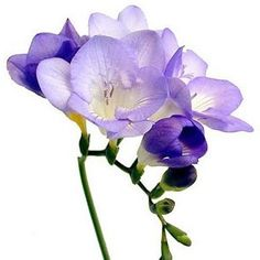 Like a graceful fairy perched pristinely atop delicate viridian stems, Lavender Freesia Flowers bloom with a poise and elegance that is inhumanly perfect.