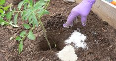 Uses Of Epsom Salt In Garden Plants. Epsom salt has several uses in organic gardening for healthy plants. Get Beautiful Roses. Epsom salt helps roses to. Growing Tomatoes Indoors, Grow Tomatoes, Garden Tomatoes, Epsom Salt Uses, Body Detoxification, Tomato Plants, Tomato Seedlings, Gardening Tips, Organic Gardening