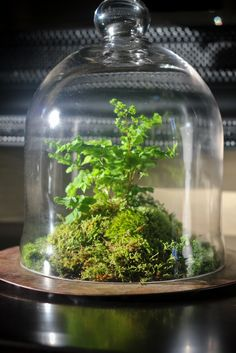 This is a custom cloche terrarium that I made for my Mom this weekend. It features a variety of mosses and a delicate maidenhair fern.