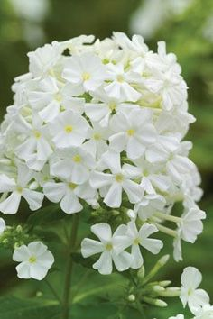 Phlox 'David' - We had the 'David' but now we carry his prettier sister, 'Danielle'