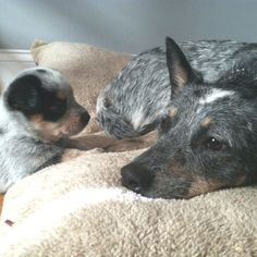 I want a Blue Heeler!!! = I have one, her name is Layla & she looks just like this one. <3 =