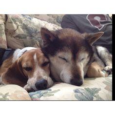 BFFs... Marlee the Beagle and Jerry Lee the Shiba Inu. ❤