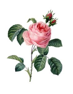 Pink Rose Instant High Resolution Digital by VintageArtRevived