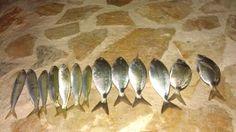 Poreč 26.05.02013. 19:00-23:30 Plava laguna, ispod hotela MediteranMamac svježi crv i lignja,Ulov cca 2,5 kg Fratri došli na crva na dnu, ušate i bobe pola crv pola lignja na vaser kuglu!