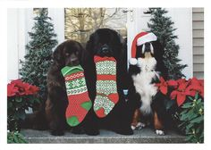 3 Dogs, Christmas Cards - 10 cards