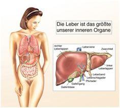 leberzirrhose und fettleber - Google-Suche