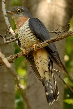 Red-chested Cuckoo, Africa