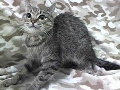 TO BE DESTROYED 4/22/14 ** This little girl is THE SWEETEST kitty!!! She LOVES PEOPLE and got the BEST BEHAVIOR RATING!!!** Manhattan Center  My name is UNO. My Animal ID # is A0996452. I am a female brn tabby domestic lh mix. The shelter thinks I am about 1 YEAR  I came in the shelter as a SEIZED on 04/12/2014 from NY 10030, owner surrender reason stated was OWN EVICT