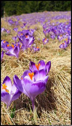 Tatry - krokusy - góry - Poland Tatra Mountains, Poland, crocuses, Zakopane, National Park, spring, wiosna , góry, kwiaty , flowers #Tatry #Tatra #Mountains #Poland #Polska #krokusy #crocuses #krokus #wiosna #spring #krajobrazy #góry #flower #kwiaty #flowers #Zakopane #Dolina #Chochołowska #landscape #photography