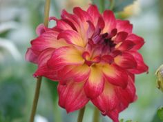 This dahlia is AC Rosebud. It's form is Informal Decorative (ID) and the bloom size is BB, 4 to six inches across. In our gardens and greenhouses, this is easily the tallest plant we grow. It generally towers over us by at least four feet. www.tallgrass-farms.com