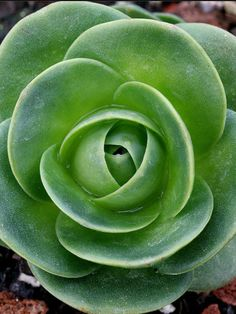 Aeonium diplocyclum is an evergreen perennial succulent up to 2.4 inches (6 cm) tall. The rosettes are up to 8 inches (20 cm) in diameter, light yellowish green in full sun and finely white powered, if plants are grown in full sun. During their summer dormancy rosettes will close cup-like...