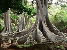 Moreton Bay fig trees, Allerton Garden, Kauai, Hawaii
