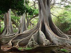 Moreton Bay fig trees, Allerton Garden, Kauai, Hawaii