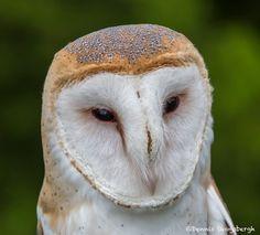 2548-Barn-Owl-Tyto-alba-Blackland-Prairie-Raptor-Center-TX.jpg (1024×927)