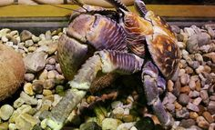 """Hermit Crabs Form """"Gangs"""" to Evict Neighbors With Better Shells Hermit Crab Shells, Hermit Crabs, Cute Animals, Pretty Animals, Cutest Animals, Cute Funny Animals, Adorable Animals"""