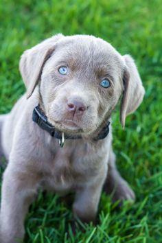 Labrador Retriever Intelligent and Fun Loving Dogs