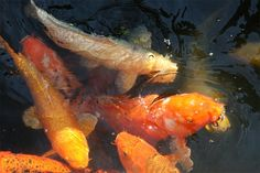 Today's shot of the day comes from Lyndi Schnelle who sent in this picture of the koi at Botannica.