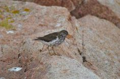 "Birds for Kids - SPOTTED SANDPIPER - excerpt from the book ""Birds Every Child Should Know"" by Neltje  Blanchan"