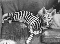 Non-toxic pet friendly spray paint makes a super easy DIY tiger, skunk or zebra Halloween costume for a black or white dog.