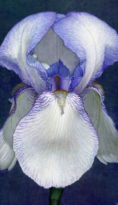 African Iris                                                                                                                                                                                 More
