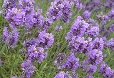 Lavender, always has a very soothing scent!