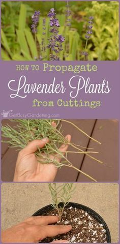 How To Propagate Lavender Plants From Cuttings Propagating lavender is easy. Plus, once you learn how to propagate lavender plants from your garden, you'll be able to grow as much lavender as you want! – THIS IS GREAT TO KNOW AS I LOVE LAVENDER! Propagating Plants, Plants, Planting Flowers, How To Propagate Lavender, Herbs, Herb Garden, Plant Care, Container Gardening, Lavender Plant