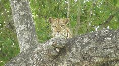 Kruger National Park, National Parks, Beautiful Green Eyes, Cats, Animals, Gatos, Animales, Kitty Cats, Animaux